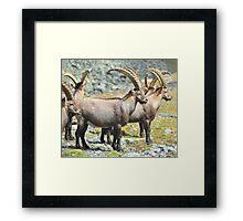 Mountain Ibex Framed Print