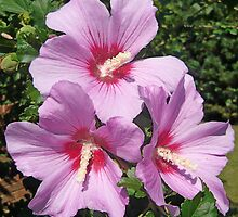 Pink Rose of Sharon  by Vivian Eagleson