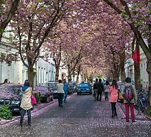 Cherry Blossom time in Bonn, Germany. by David A. L. Davies