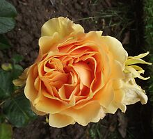 A Single Yellow Rose by JordanHembrow