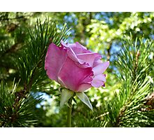 Rosebud Photographic Print