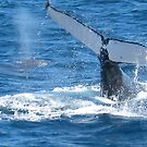 Whale breaching by ellismorleyphto