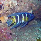 EASTERN BLUE DEVIL FISH by springs
