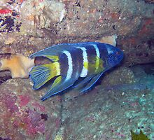 EASTERN BLUE DEVIL FISH by springs
