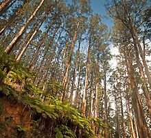 Black Spur Ridge Yarra Ranges National Park by Janette Rodgers
