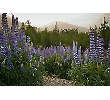 Lupines Photographic Print
