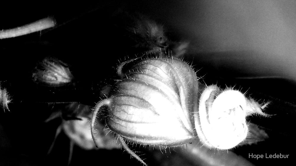Squash Blossoms_C by Hope Ledebur