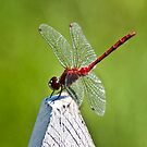 Dragonfly on picket fence by Sylvain Dumas
