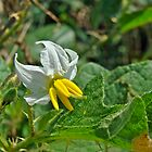 Horsenettle - Solanum carolinense by MotherNature