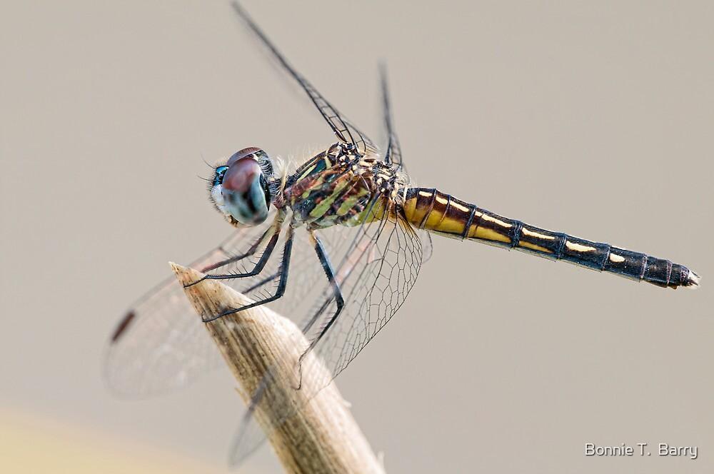 Female Blue Dasher Dragonfly posting prettily by Bonnie T.  Barry