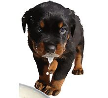 Cute Rottweiler Puppy Lapping Milk Vector Photographic Print