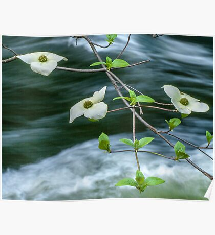 ** DOGWOOD BLOOMING OVER THE MERCED RIVER ** Poster