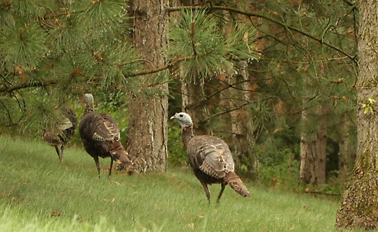 Holy Hill Turkeys by Thomas Murphy