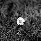 Black & White Daisy by Shannon Kerr