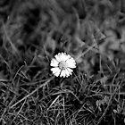 Black & White Daisy by Shannon Kerr