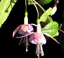 Beautiful Pink Fuchsia by Kelly Walker