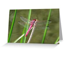 Dragonfly ~ Roseate Skimmer (Male) Greeting Card