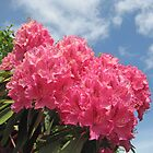 Pink Rhododendrons in full bloom by Kelly Walker