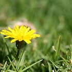 Single Dandelion in grass by Kelly Walker
