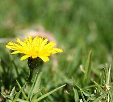 Single Dandelion in grass by Kelly Walker