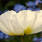 Iceland Poppy Flower White Plant by justforyou