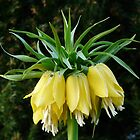 Imperial Crown Flower Plant Yellow by justforyou
