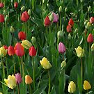 Tulip Field Tulips Meadow Green Beautiful by justforyou