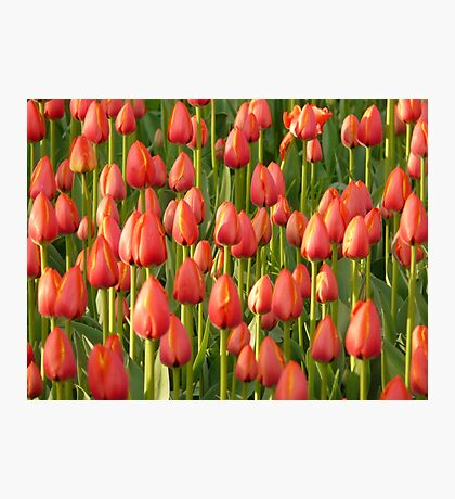 Tulip Field Tulips Red Closed To Tulpenbluete Photographic Print
