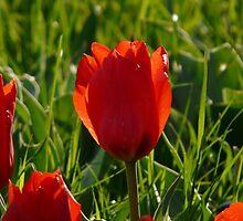 Tulip Light Back Light Evening Light Flower by justforyou