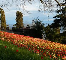 Tulip Field Tulips Tulpenbluete Flowers by justforyou