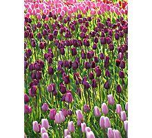 Tulip Field Tulips Violet Dark Purple Purple Photographic Print