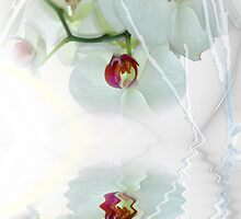 white Phalaenopsis - Orchid by Wemmje