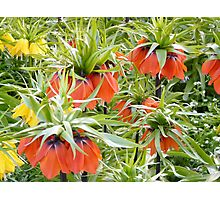 Imperial Crown Flower Yellow Orange Photographic Print