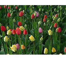 Tulip Field Tulips Meadow Green Beautiful Photographic Print