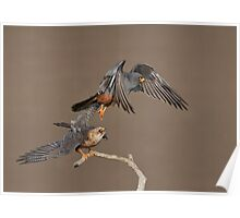 Red-footed falcons - male and female Poster