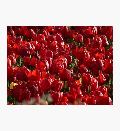 Tulip Field Tulips Red Strong Farbenpracht Photographic Print
