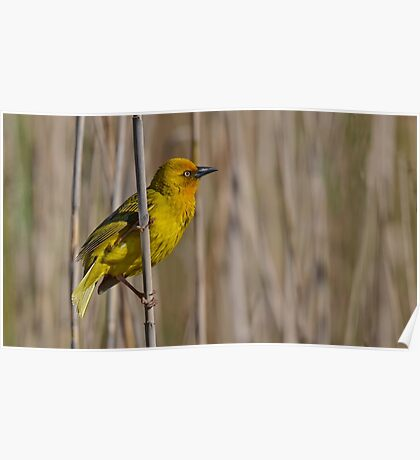 Another Yellow Bird..... Poster