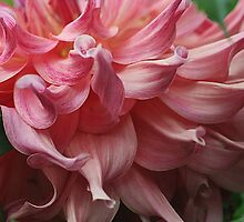 Dahlia Curls by Monnie Ryan