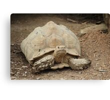 Tortoise at T & D's Cats Canvas Print