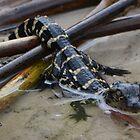 Baby American Alligator by Eaglelady