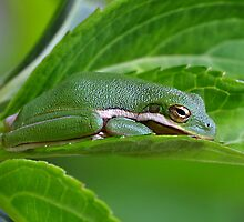 Tree Frog Cozy In A Leaf by Kathy Baccari