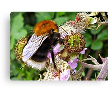 Miss Bee On Her Blackberry Canvas Print
