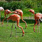 Flamingos by Vac1