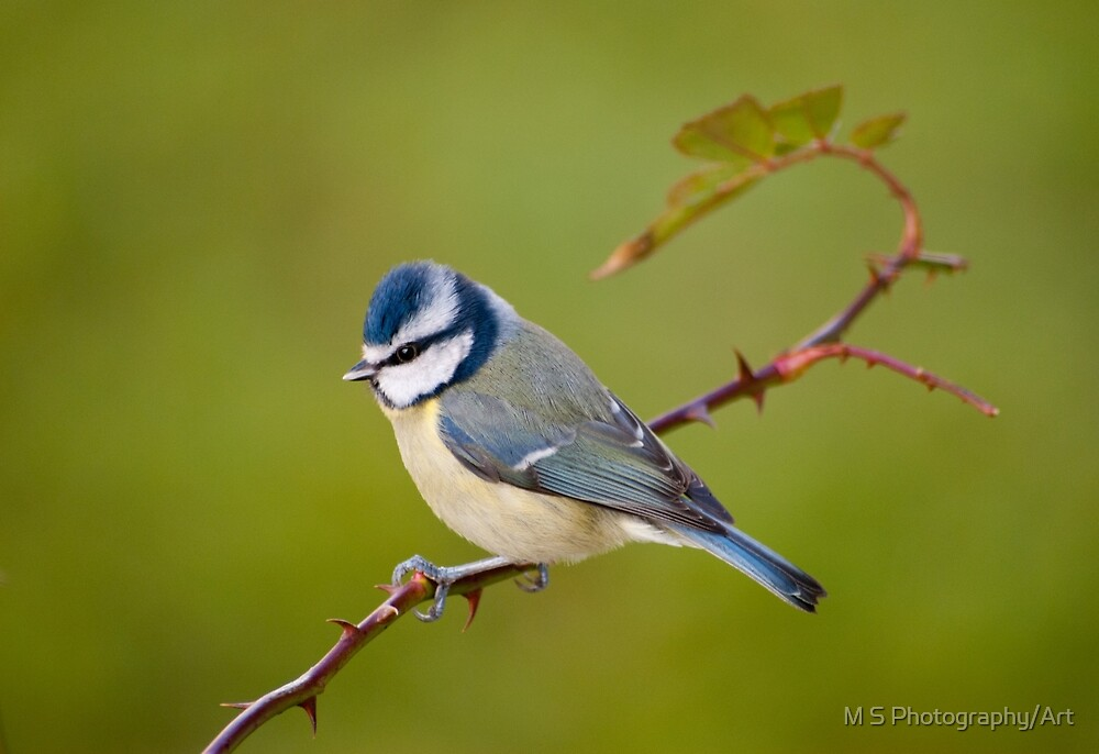 Blue tit, perched on rose branch by M.S. Photography/Art
