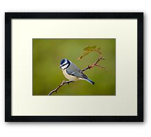 Blue tit, perched on rose branch Framed Print