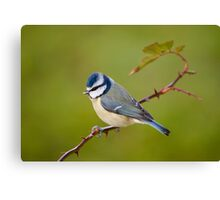 Blue tit, perched on rose branch Canvas Print