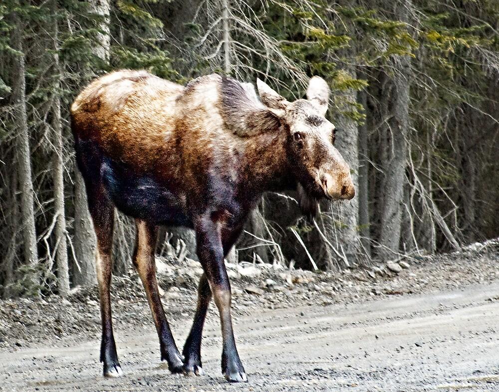 Youg Moose near Canmore Alberta by Yukondick