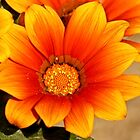 Orange Delight by pcfyi