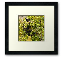 Bear Recliner, Black Bear Eating Chokecherries Framed Print