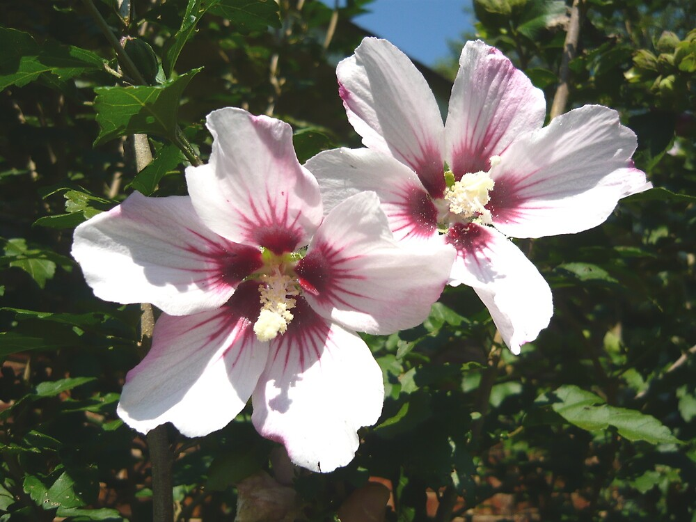 The White Rose of Sharon by Vivian Eagleson